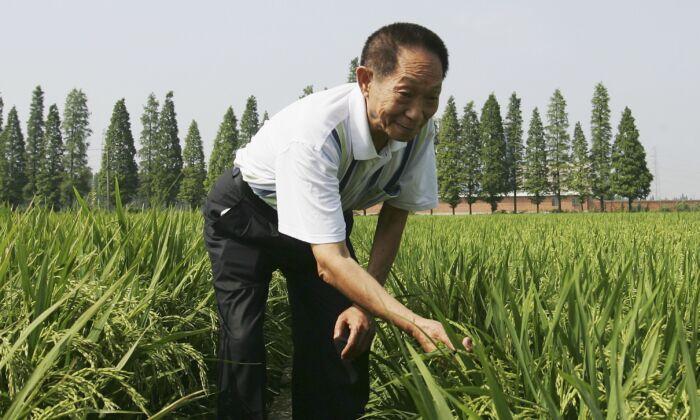 """Yuan Longping, alabado por la prensa estatal como el """"padre del arroz híbrido"""", posa para una foto en un campo de siembra de arroz híbrido en la ciudad de Changsha, en la provincia de Hunan, el 20 de junio de 2006. (Guang Niu/Getty Images)"""