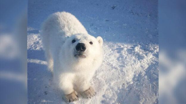 Mineros del Ártico alimentan a cría de oso polar huérfana y se convierte en una amistosa mascota