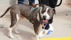 Perro callejero adoptado recibe una medalla por ayudar a salvar la vida de su dueño