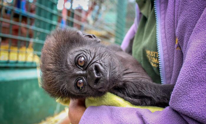 Bebé gorila prematura rechazada por su madre es adoptada por su abuela con ayuda de los cuidadores