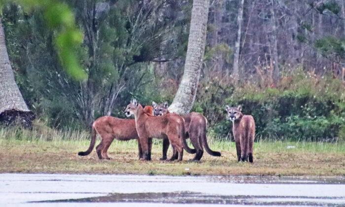 """Fotógrafo """"tiembla de emoción"""" tras encontrar 5 panteras de Florida el mismo día"""