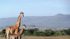 Salvan a dos jirafas atrapadas en isla inundada de Kenia y las regresan a la tierra de sus ancestros