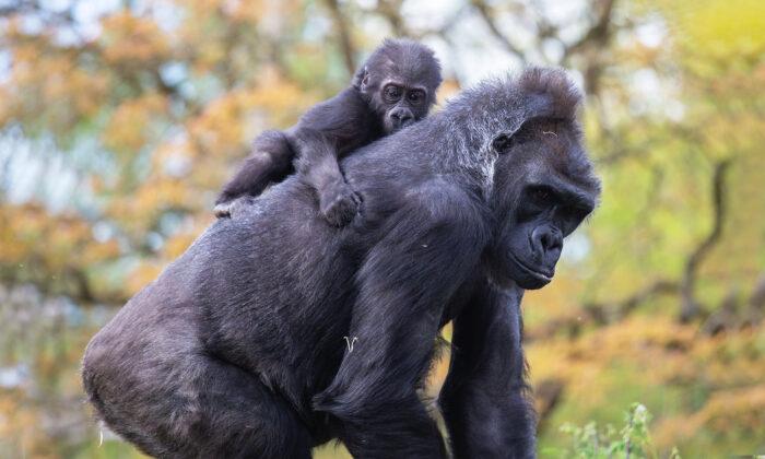 (Cortesía de Jordan Jones/Zoológico de Bristol Gardens)