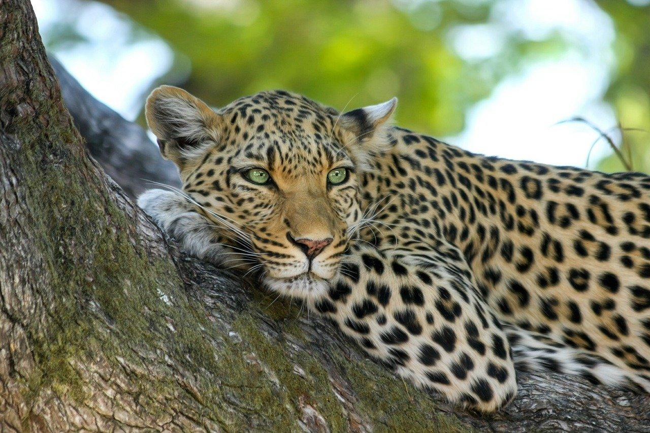 Zoológico guarda silencio por más de dos semanas tras escape de leopardos en gran ciudad China