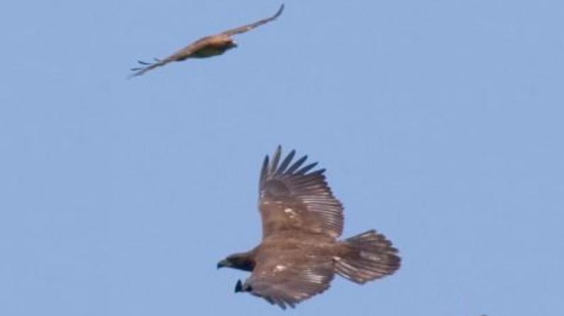 Pareja de valientes kayakistas salvan a dos enormes águilas que se ahogaban en el río Danubio