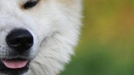 Fotos de inusual perro japonés con cara en forma de corazón llenan a la gente de alegría y ternura