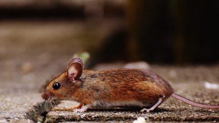 Michigan registra el primer caso humano de hantavirus transmitido por roedores