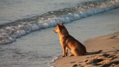 Perrito guardián custodia playa mexicana para que las tortugas bebés lleguen con vida al mar