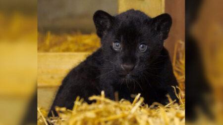 """""""Preciosa"""" hembra de jaguar negra nace en el Santuario de Grandes Felinos de Inglaterra"""