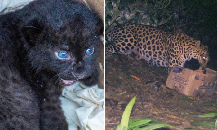 Rescatistas reúnen a un cachorro de leopardo con su madre tras encontrarlo en una plantación de té