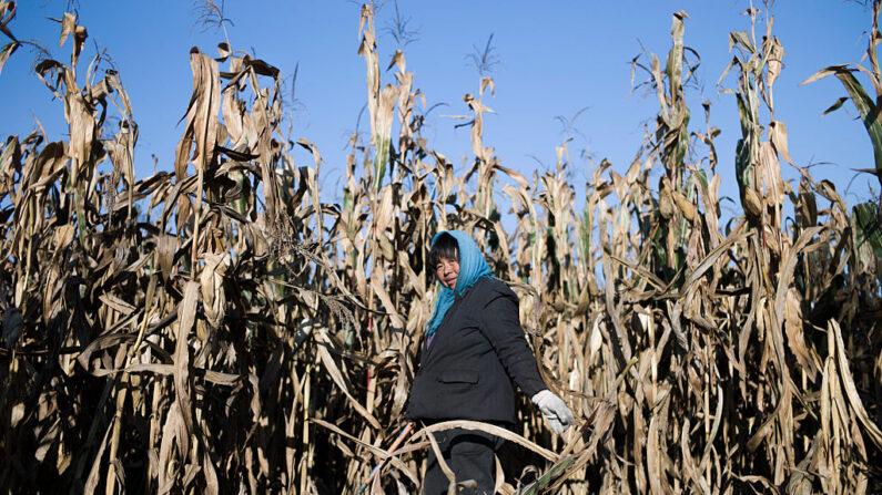 Trabajador chino cosechando maíz en los campos en las afueras de Beijing el 9 de octubre de 2016. Imagen de archivo. (Fred Dufour/AFP vía Getty Images)
