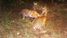 """Tigre macho """"adopta"""" a 4 cachorros tras muerte de su madre, su actitud es """"rara"""" según expertos"""