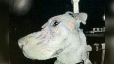 Perro perdido toca el timbre a las 3 de la mañana y se asoma frente a la cámara al regresar a casa