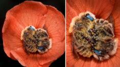 Fotógrafo retrata a impresionantes abejas de ojos azules durmiendo en flores del desierto de Arizona