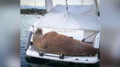 Morsa del Ártico pasa dos días en barcos del puerto de English Island recibiendo diversas reacciones