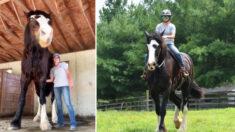 Phantom, uno de los caballos más altos del mundo, superó el tamaño de los establos de su dueño