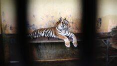 Indonesia investiga cómo pudieron contagiarse de covid-19 dos tigres de Sumatra