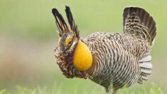 Gallo de las praderas de Texas se recupera tras años de amenaza de extinción: Estudio