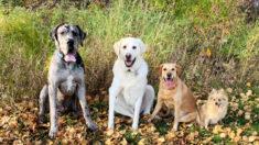 Adorables fotos muestran a cachorro gran danés que creció más grande que los otros perros en 2 años