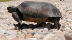 Policía busca a la persona que pintó de rosa dos tortugas en Florida