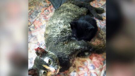 Gata entra a un granero en llamas para salvar a sus gatitos y sufre graves quemaduras