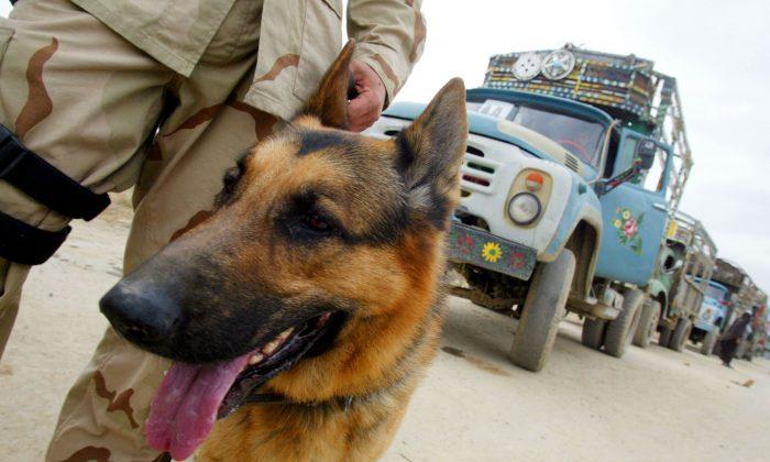 Un perro militar de EE. UU. en la base aérea de Bagram el 22 de marzo de 2002 en Afganistán. (Joe Raedle/Getty Images)