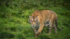 Cuidadora de zoológico muere por ataque de un tigre en Chile
