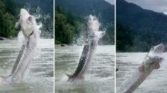"""Guía graba a enorme pez esturión de 10 pies de largo y 400 libras: saltó """"sobre nosotros"""""""