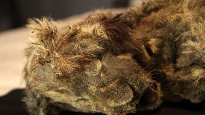 Un cachorro de león de las cavernas congelado encontrado en Siberia. (Cortesía de Love Dalén)