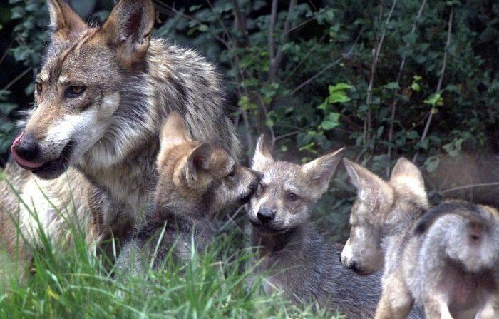 Un lobo gris mexicano macho se alimenta, el 06 de junio de 2002, en el Zoológico de Chapultepec en la Ciudad de México junto con tres de sus cinco cachorros, nacidos el 17 de abril. (JORGE UZON/AFP vía Getty Images)
