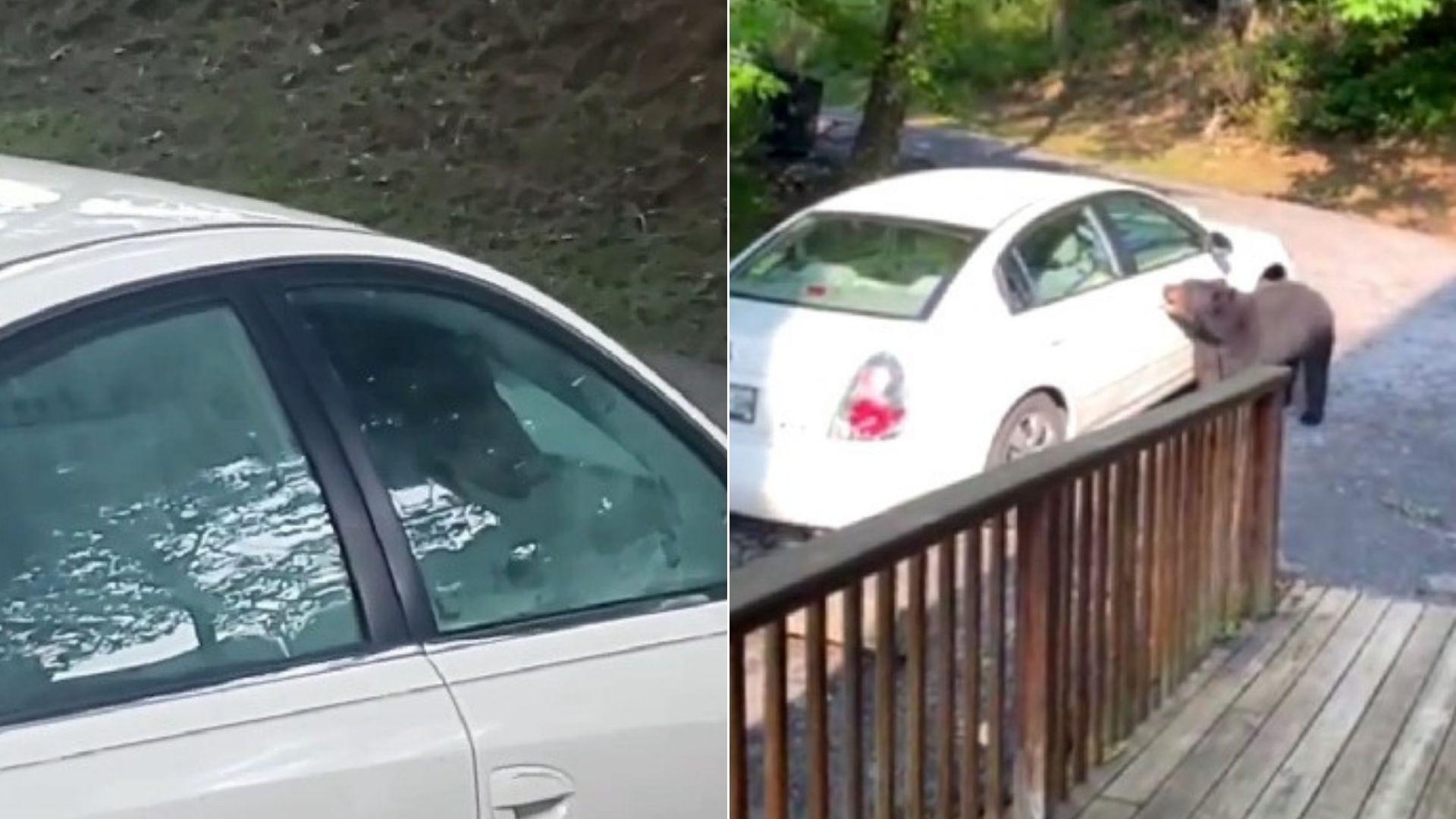 Enorme oso negro sorprende a amigos durante sus vacaciones: ¡Salió al abrir la puerta del auto!