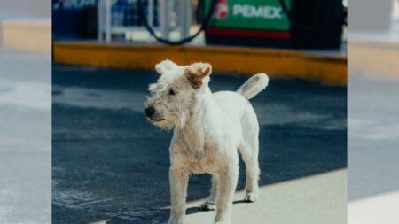 """Perrito mexicano que trabaja en gasolinera casi es """"robado"""" cuando pensaron que era de la calle"""