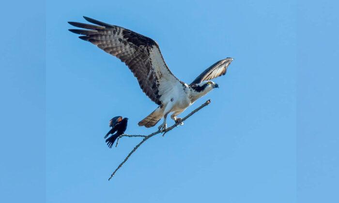 Singular fotografía de un ave pequeña montando en el palo de un águila, ¡en pleno vuelo!