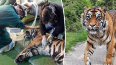 Veterinario opera ojo ulcerado de un tigre de Sumatra de 205 libras por primera vez en el mundo