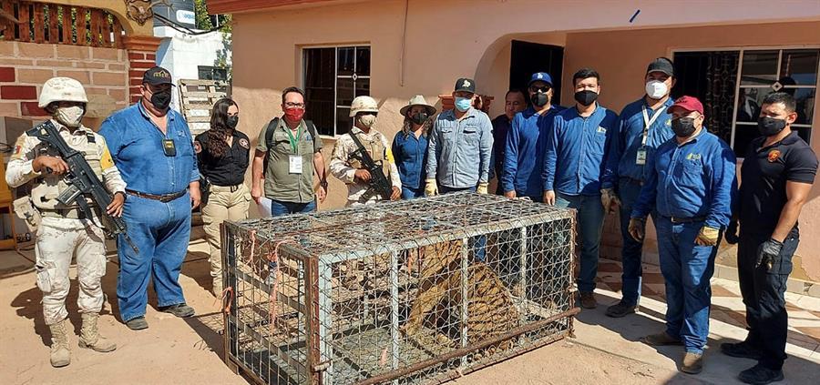 Agentes mexicanos hallan un tigre de Bengala en escondite de grupo criminal
