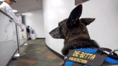 Una dupla de perros llega al Aeropuerto de Miami para ayudar con la detección del COVID