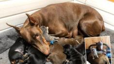 "Perrita doberman ""adopta"" a una gatita abandonada tras dar a luz a sus cachorros"
