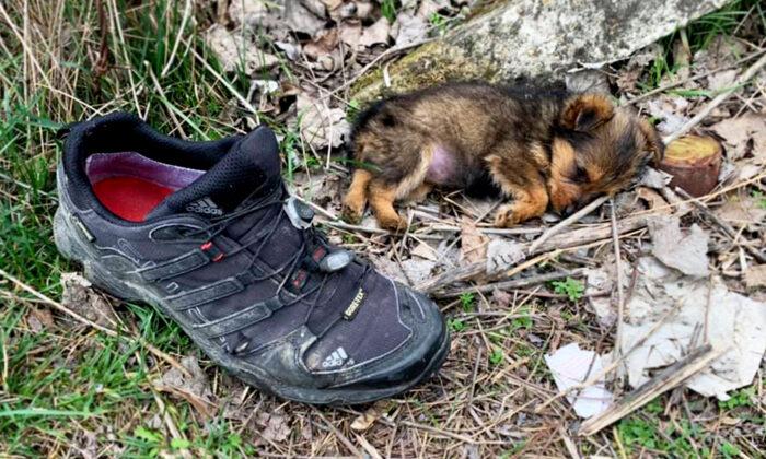 Hombre encuentra a un cachorro abandonado viviendo en un zapato, ¡lo alimenta y le busca un hogar!