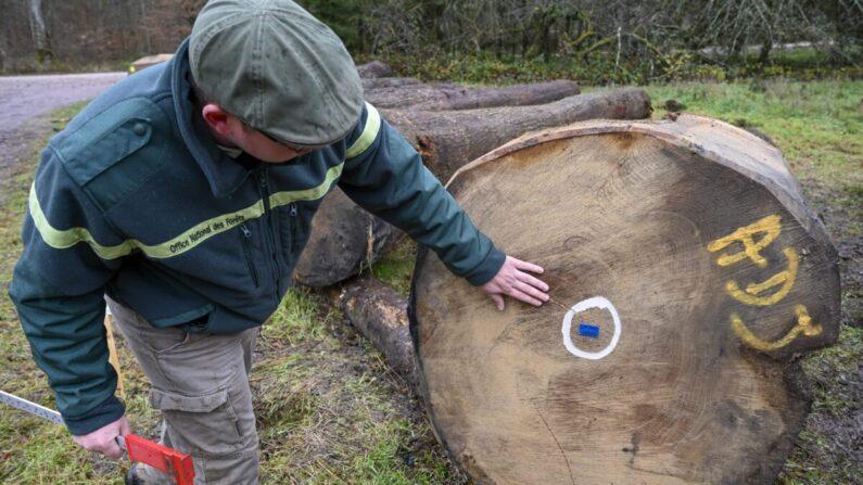 Jérôme David, ayudante del director de la Unidad Territorial y director de Comercialización de la Madera de la Oficina Forestal Nacional comprueba un tronco de roble marcado en el centro en el este de Francia, el 11 de diciembre de 2020. (Jean-Christophe Verhaegen/AFP vía Getty Images)