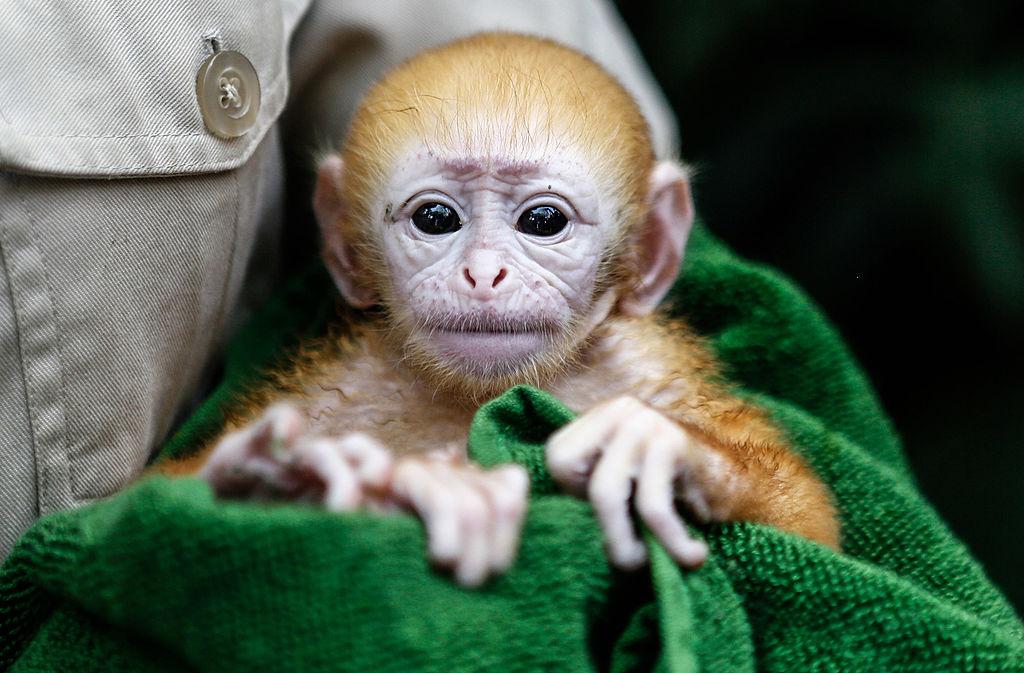 Bibi, el tierno bebé mono que adora a los patos y es una estrella en redes sociales