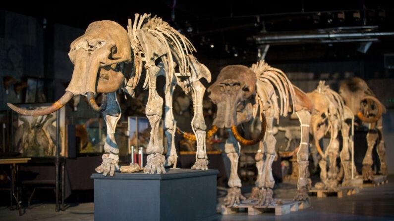 En una foto de archivo, una familia de mamuts se exhibe en Summers Place Auctions el 12 de septiembre de 2017 en Billingshurst, Inglaterra. (Rob Stothard/Getty Images)