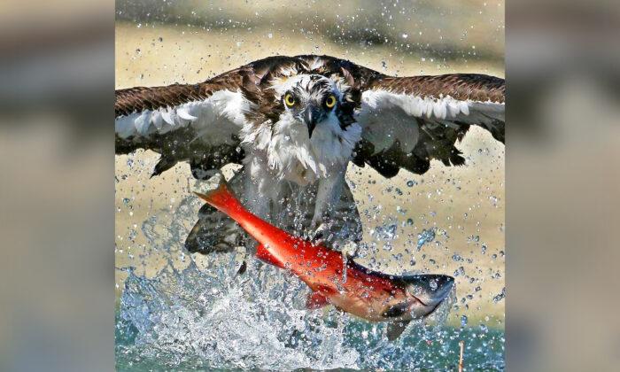 Impresionantes fotos de águilas pescadoras sacando salmones rojos del lago y elevándolos en el aire
