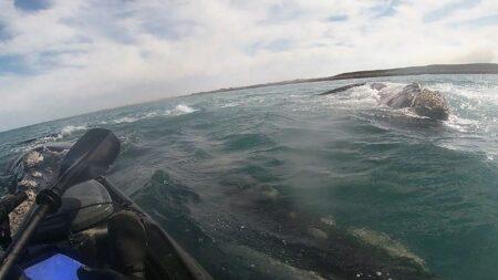 Hombre en kayak es sorprendido cuando lo levanta una ballena: ¡Logró grabar el momento!