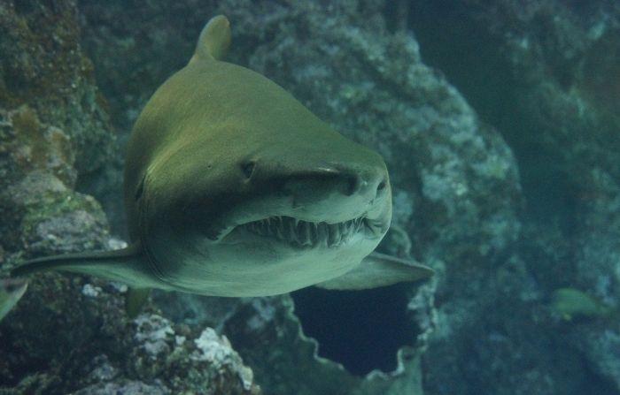 Encuentran sorprendente tiburón con cabeza de cerdo flotando en el mar italiano