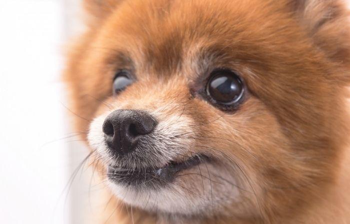Perrito miniatura que nació sin patas delanteras fue rescatado antes de ser sacrificado