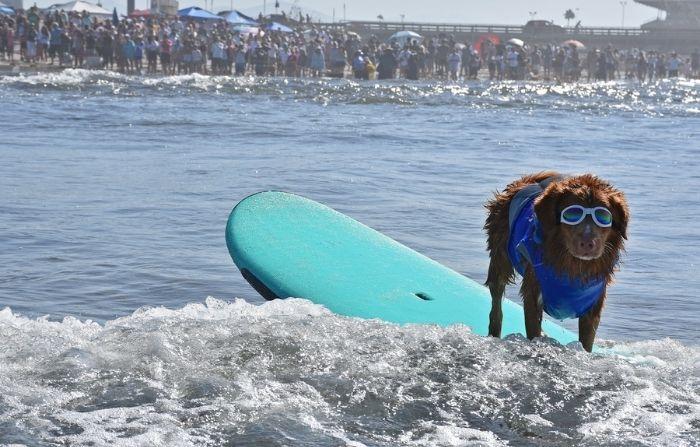 Intrépidos perros participan en concurso de surf en California: ¡Ganó uno extra pequeño!