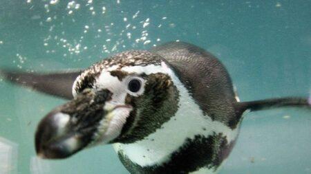 Pingüino perdido en el norte de Chile es regresado a su hábitat