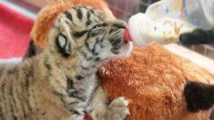 Nace primer cachorro de tigre de Sumatra en 70 años en zoológico de Dallas