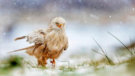 Hermoso y raro milano rojo con leucismo fue visto jugando en la nieve