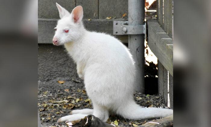 Raro ualabí albino sale de la bolsa de su madre por primera vez en zoológico de Nueva York